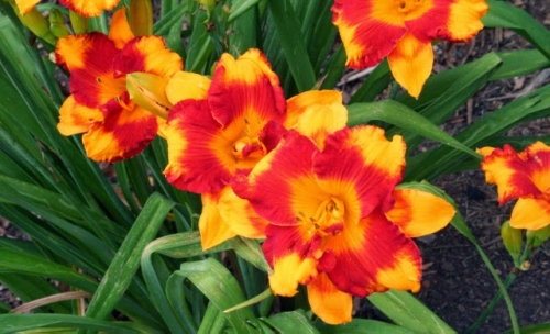 Adorable Tiger Day Lily