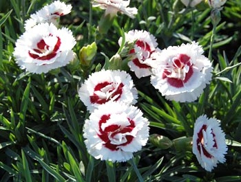 Coconut Surprise Dianthus