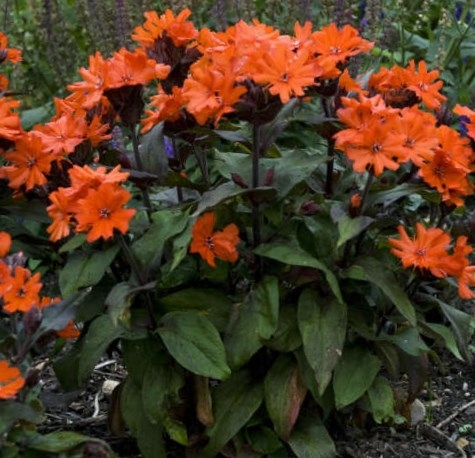 Orange Maltese Cross Catchfly Plant