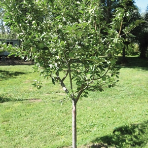 $10 Off Fruit Trees