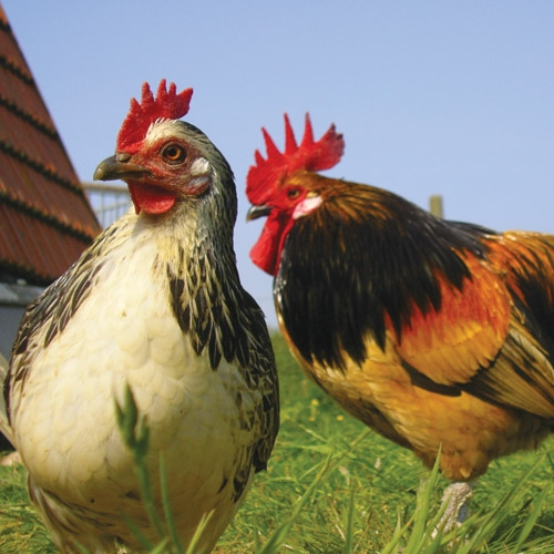 Poultry, Equine & Other Barnyard Animals