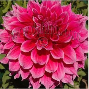 Dahlia Emory Paul 2pack