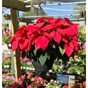 Red Poinsettia Hanging Baskets