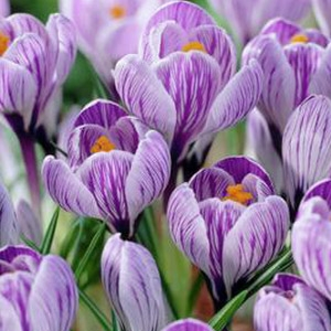 Large Flowering Mixture 40-pack Crocus Bulbs