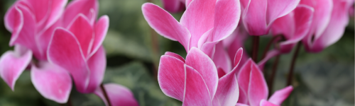 Cheery Cyclamen