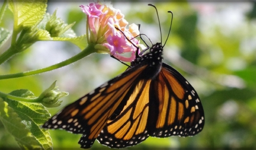 Monarch Migrations are Coming this Way