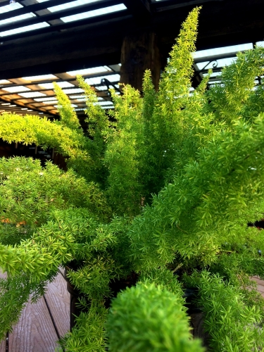 Fox Tail Fern