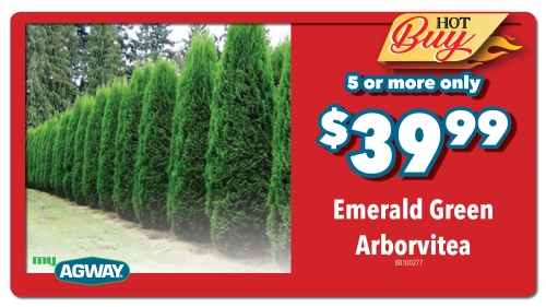 Emerald Green Arborvitae- 5 or more $39.99
