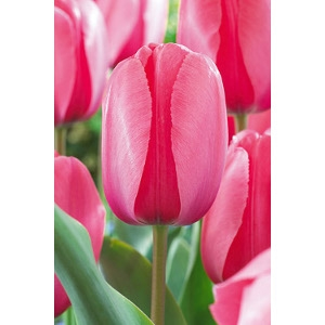 Netherland Bulb Company Pink Impression Tulip Bulbs Value Pack 20