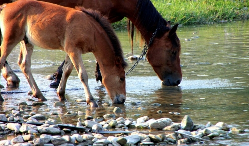 Maintaining Horse Hydration: The Roles of Water and Salt