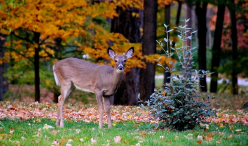 Fall is Prime Time to Begin a Supplemental Feeding Program for Deer