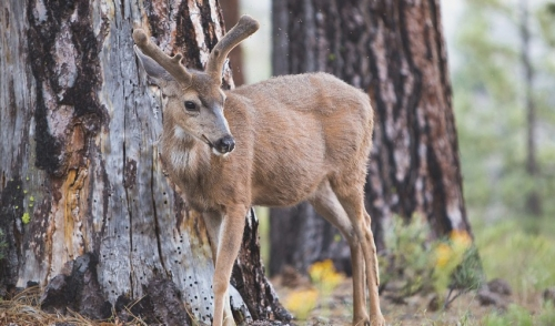 Deer Health and Nutrition Tips during Antler Growth Season