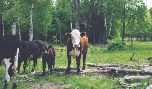 Good Nutrition Vital for Efficient Cattle Reproduction