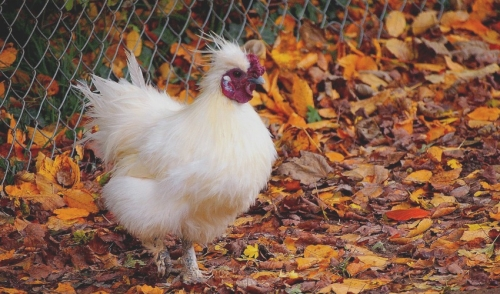 Keeping your Hens Healthy and Laying This Fall
