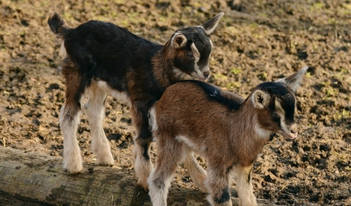 Preparing for the Birth of Baby Goats