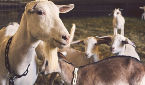 Preparing your Goats for the Winter Months Ahead