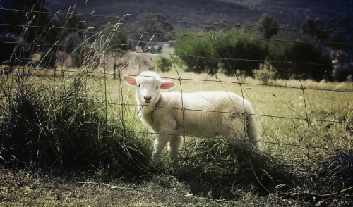 Preventing Overeating Disease in Lambs