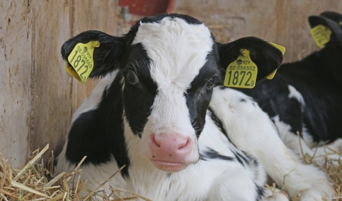 Tips for Creep Feeding Calves