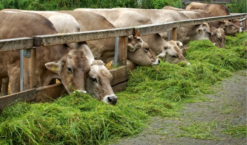 Treatment and Symptoms of Grass Tetany in Cattle