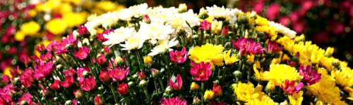 Hardy Mums Available Now