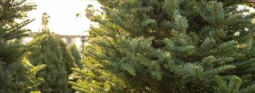 Fresh-cut Christmas trees are here!
