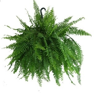Fern Hanging Basket