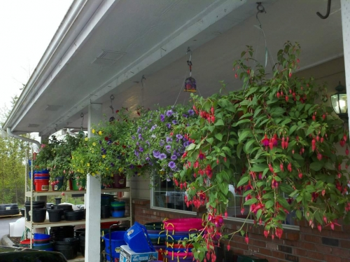 Hanging baskets in the spring