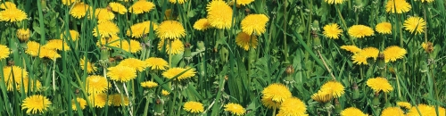 Are Weeds Invading Your Lawn?