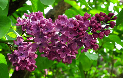 step one lilacs