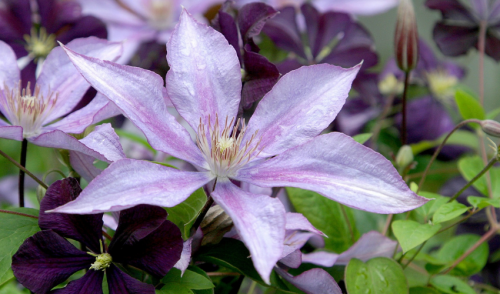 Winter your Clematis