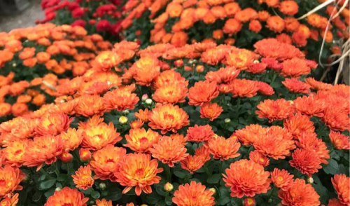 Winter Your Fall Mums