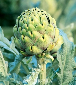 'Improved Green Glove' Artichoke