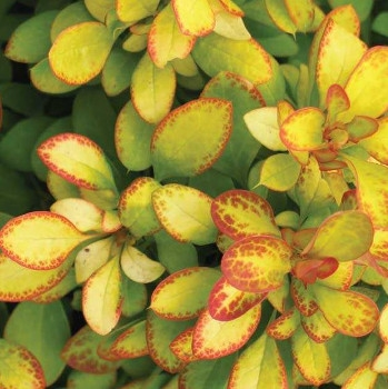 First Editions 'Limoncello' Barberry