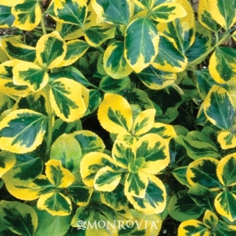 'Gold Splash' Euonymus