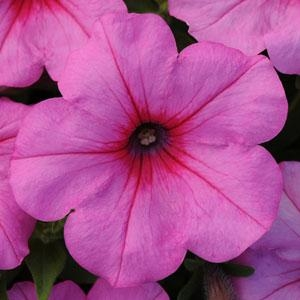 Easy Wave 'Pink Passion' Petunias