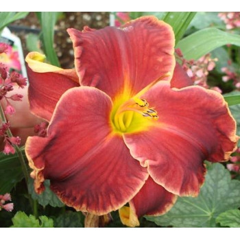 'Diva's Choice' Perennial Daylily
