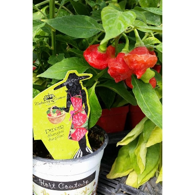 Hort Couture 'Shanghai Surprise' Pepper