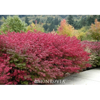 'Burning Bush' Shrub