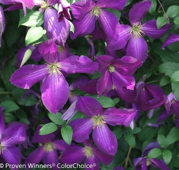'Happy Jack' Purple Clematis