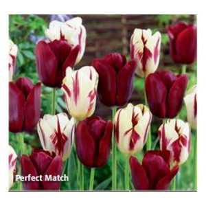 Perfect Match Tulip Collection by DeVroomen