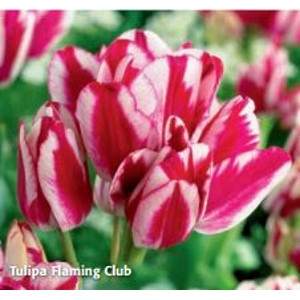 Flaming Club Tulip Blend by DeVroomen
