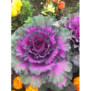 Flowering Kale-Annual