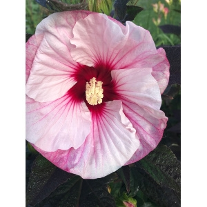 Hardy Hibiscus for your Perennial Garden!