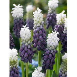 Grape Ice Muscari Grape Hyacinth