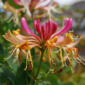 Honeysuckle Bush