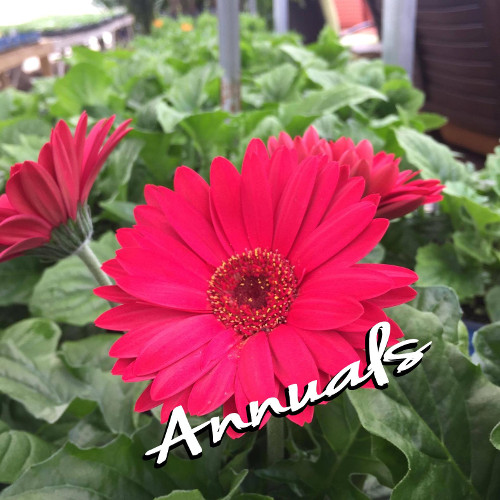 Integrity Nursery Has Annuals