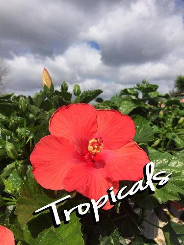 Integrity Nursery Has Tropicals
