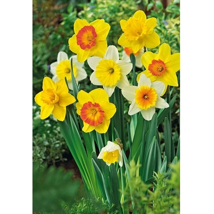 Netherland Bulb Company Narcissus Mixture 50 Bulb Package