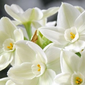 National Grower Paperwhites