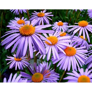 Locally Grown Asters